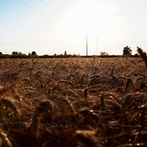 Filiera del grano duro: mercato sconvolto dal lockdown